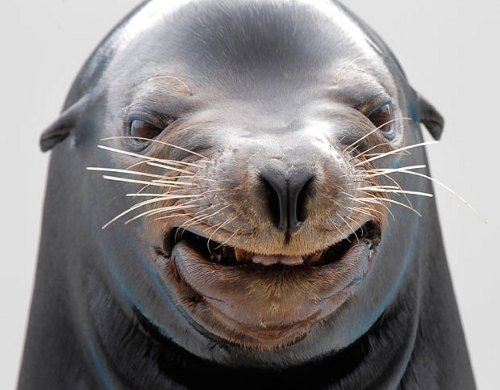 smiling sealion